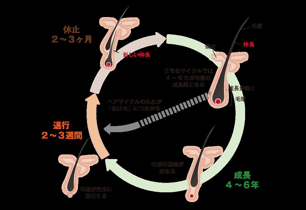 ヘアサイクル図